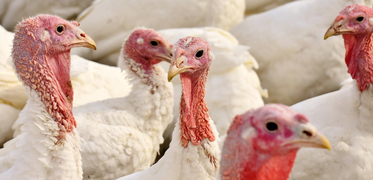 A Day in the Life of a Factory Farm Turkey